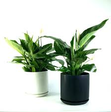 low maintenance office plants. Low Light Plants For Office Tall Indoor Home Surprising Jubilee Furniture Small Amazing Maintenance N