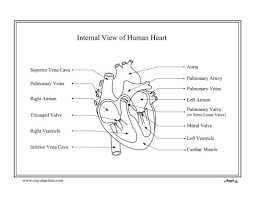 Human Heart Coloring Page | Crayon Action Coloring Pages