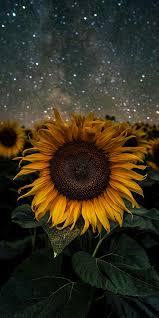 Dark Sunflower iPhone Wallpaper HD ...