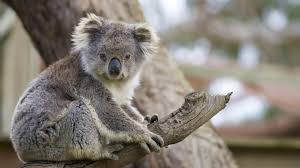 <b>Koala</b> | San Diego Zoo Animals & Plants