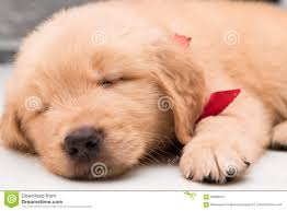 really cute golden retriever puppies sleeping. Simple Really Download Closeup Sleeping Face Of One Month Old Golden Retriever Puppy  Stock Image  With Really Cute Puppies