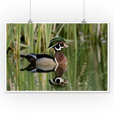 Duck decoys and game bird statues are classic cabin decor for bookshelf groupings in game room, bar or den. Wood Duck And Reflection Lantern Press Photography James T Jones 12x18 Art Print Wall Decor Travel Poster Walmart Com Walmart Com
