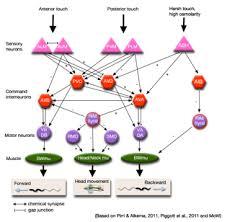 Individual Neurons - <b>RIM</b>