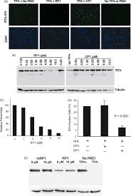 RP1 P-PMO inhibition of RTA protein expression in BCBL-1 cells post TPA...