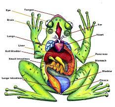 Parts Of A Frog Diagram Of Frog Anatomy Huge Color Image