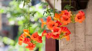 Image result for ​Trumpet Creeper plant landscaping