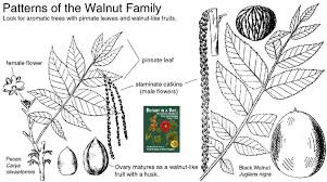 Juglandaceae: Walnut Family. Identify plants, flowers, shrubs and ...