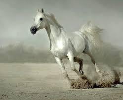 white horses running. Exellent White White Horse Running And Horses U