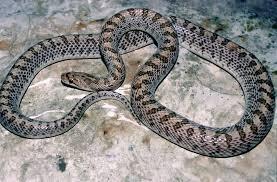 Black Snake With Diamond Pattern Cool Decorating Design