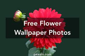Wallpaper flower Iphone Wallpaper Pexels Flower Wallpaper Pexels Free Stock Photos