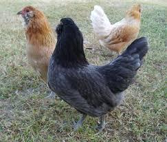 Quail Pen Chicken Coop Plans U2013 North Carolina Garden Coop  Coop Backyard Chicken Blog