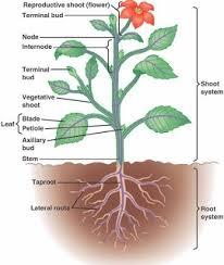 Angiosperm Vs Gymnosperm Venn Diagram 2 17 2 Compare The Bryophytes Seedless Vascular Plants