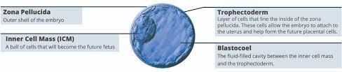 Embryo Grading Chart Embryo Grading Radfertility