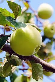 royalty free apple tree leaves photos