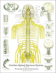 Chiropractic Subluxation Chart Spinal Nerves And Subluxation Poster