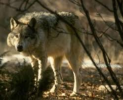 gray wolf photo by corel corp copyrighted