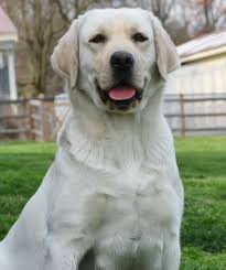 american yellow lab puppies. Delighful American Deep Run Ariel Is A Lovely Yellow English Girl With Stunning Head And  Conformation She Sweet Affectionate But Always Ready To Retrieve  Throughout American Yellow Lab Puppies