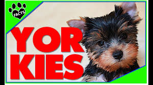 yorkshire terrier dogs 101 best toy breed ever facts yorkies