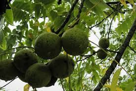 harvesting black walnuts. Exellent Harvesting Black Walnuts In Tree On Harvesting A