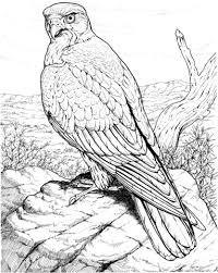 Havik Roofvogel Kleurplaat Gratis Kleurplaten Printen