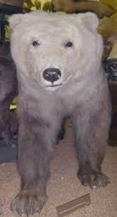 grolar bear size grizzly polar bear hybrid wikipedia