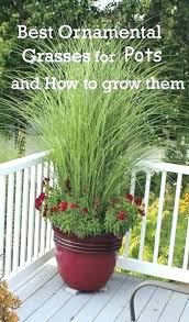 tall potted plants tall plants for privacy in pots tall potted plants for patio privacy outside