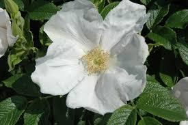 white rugosa rose rosa rugosa alba at connon nurseries