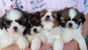 shih tzu pups s more pets healthypups please share 3 teddy bear zuchon pups healthypups please share unled 0 00 20 04