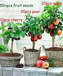 Wonderful Pomegranate Tree For Sale  Fast Growing TreesNon Gmo Fruit Trees For Sale