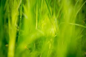 green grass field. Green-Grass-Fields-Wallpaper-284 Green Grass Field )