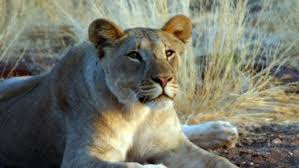 the desert lions secrets of survival life in the namib desert  about