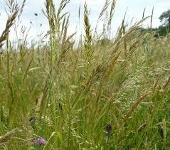 Trisetum flavescens – Yellow Oat-grass (w)   Wild Grasses   Species ...