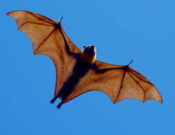 Image result for flying fox