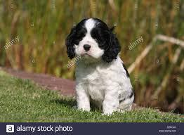 Dog American Cocker Spaniel puppy ...