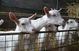 A Beginners Guide To The Best Goats For Milk Countryside Network