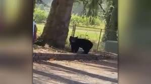 Battle Ground man captures video of bear near his business   KATU