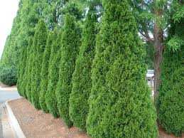 Medium Sized Privacy Trees To Block Nosey Neighbors