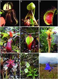 Carnivorous Plants Low Light The Carnivorous Plants A Cephalotus Follicularis B