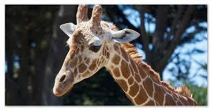 Жираф доклад про животное Африки Окрас каждого животного уникальный