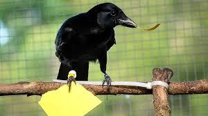 Crow Vending Machine Plans Fascinating Crow Vending Machine Skills 'redefine Intelligence' Newsatw