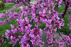 10 beautiful pink flowering trees