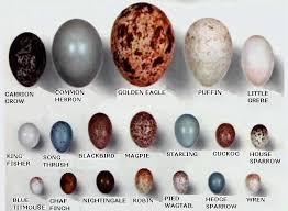 North American Bird Eggs North Free Download Printable