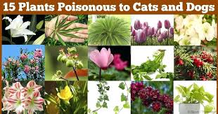 airport pet hospital house plants toxic to cats pictures airport pet hospital house plants toxic to cats pictures