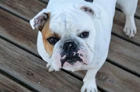 full grown mini english bulldogs. Wonderful English Mini English Bulldog Outside On Patio Deck And Full Grown Bulldogs 0