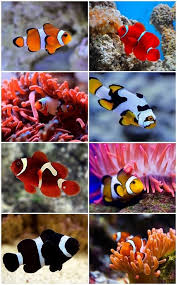 Clown Fish Identification Chart Clownfish Saltwater Aquascpaing Ideas Fish Species Amazing