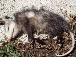 13 Facts About Opossums Mental Floss