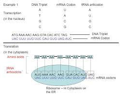 Example 1 Dna Triplet Mrna Codon Trna Anticodon