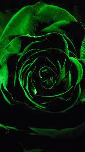 Download Close up, green rose, flower ...