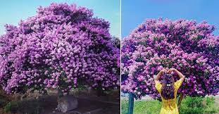 Image result for hoa bằng lăng