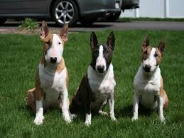 miniature bull terrier vs standard.  Bull Miniature Bull Terrier  This 15 Facts Will Make You Fall Inlove About  Bully Breed To Vs Standard E